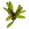 Neoregelia olens x compacta