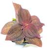 Triolena sp. Ecuador