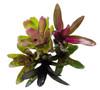 5 Mature Terrarium Suitable Bromeliads