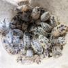 Porcellio laevis 'Dairy Cow' Isopods