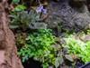 Selaginella sp. 'Mini Ecuador'
