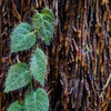 Ficus villosa