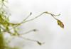 Pleurothallis brighamella