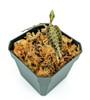 Goodyera reticulata