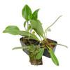 3 Miniature Terrarium Suitable Orchids