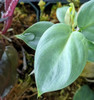Philodendron 'Small Silver'