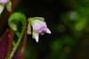 Monolena sp. Ecuador