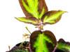 Sonerila aff. pulchella