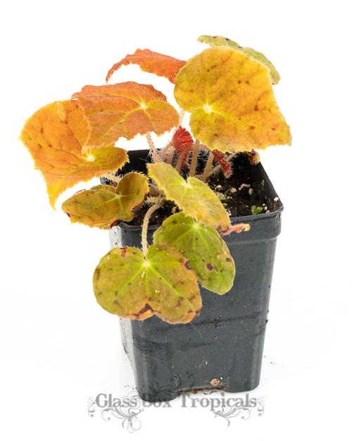 Begonia 'Autumn Embers'