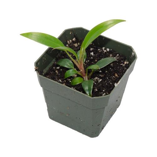 Epipremnum sp. 'Pincushion'