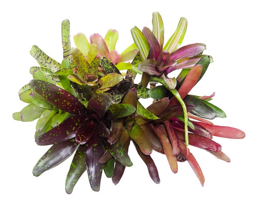 10 Mature Terrarium Suitable Bromeliads