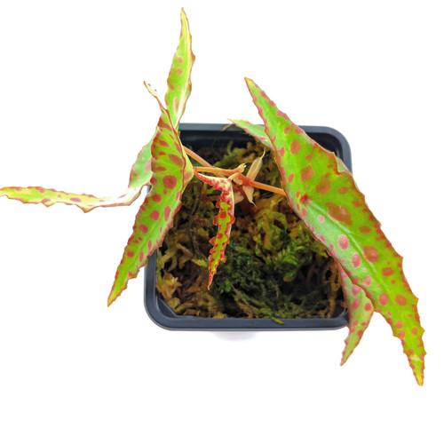 Begonia amphioxus