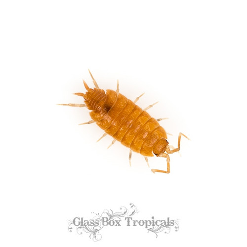Porcellionoides pruinosus 'Powder Orange' Isopods