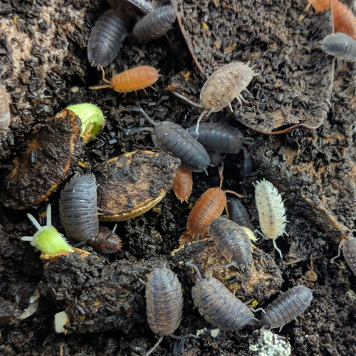 Porcellio scaber 'Lottery Mix' Isopods