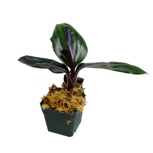Geogenanthus sp. Ecuador