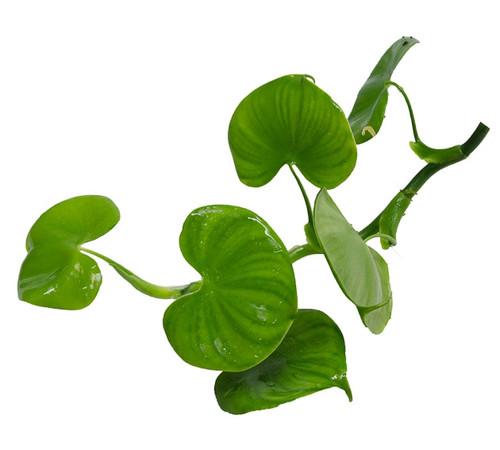 Philodendron grazielae
