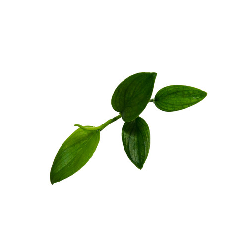 Philodendron sp. Mini Santiago