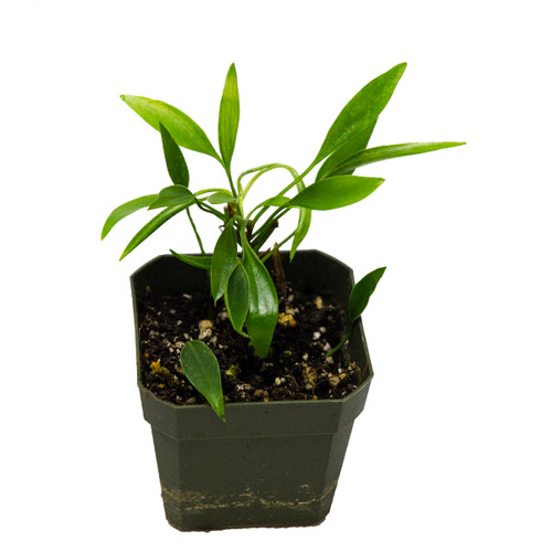 Philodendron Mini Midget