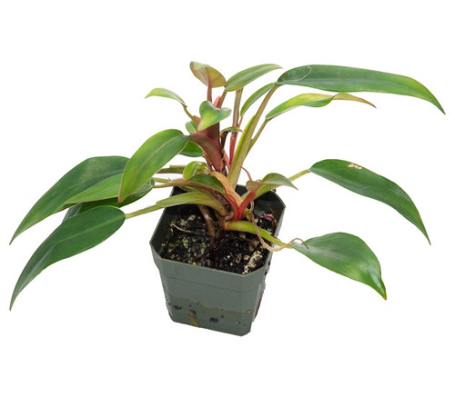 Philodendron 'Red Empress'