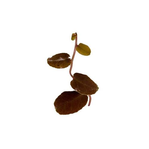 Marcgravia sp. 'Dark Brown'