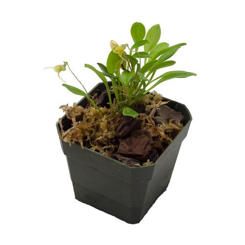 Masdevallia bucculenta