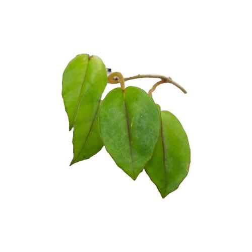 Begonia elaeagnifolia