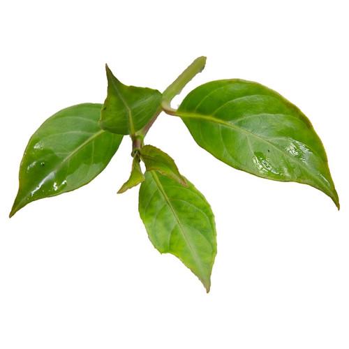 Drymonia cuyabonensis