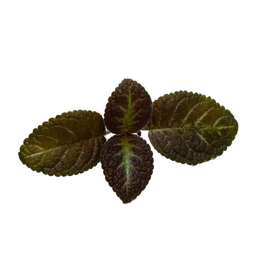 Episcia sp. (European seed)