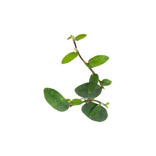 Ficus sp. 'Borneo'
