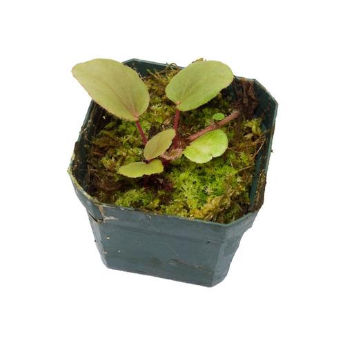 Begonia subnummularifolia