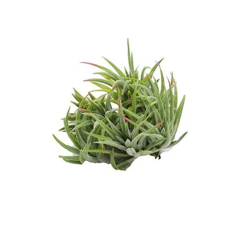 Tillandsia ionantha 'Mexican Select'
