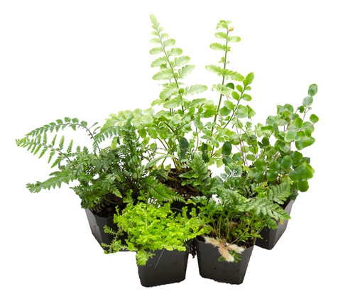5 Assorted Terrarium Suitable Ferns