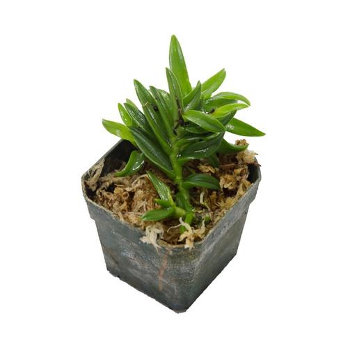 Epidendrum porpax 'Alba'