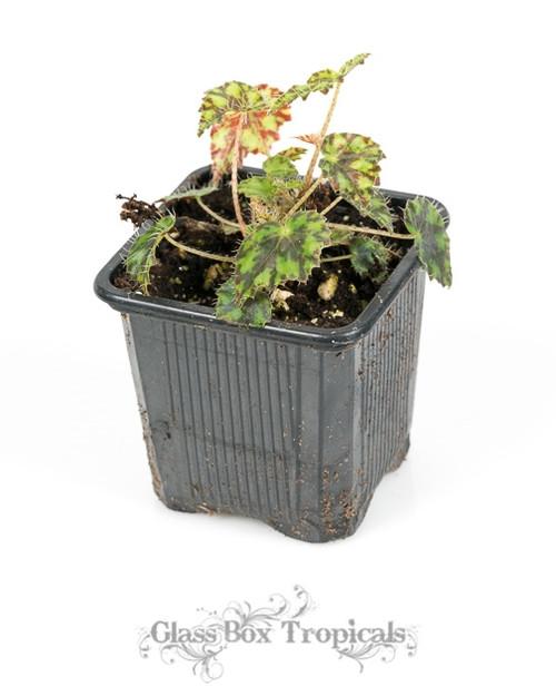 Begonia 'Rhinsetone'