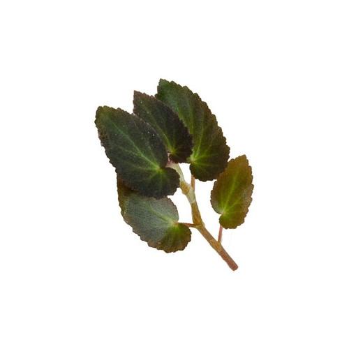 Begonia withlacoochee