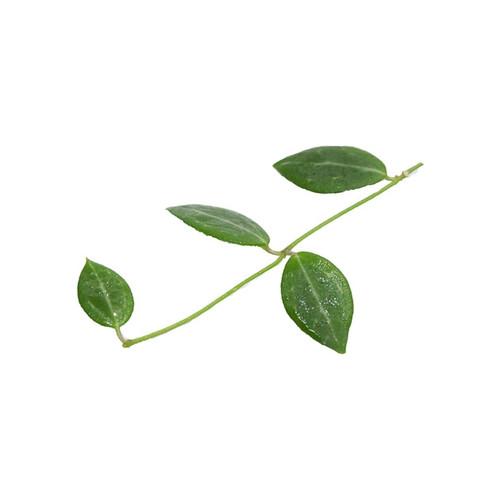 Dischidia ovata (special)