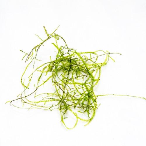 Vesicularia dubyana - Java Moss