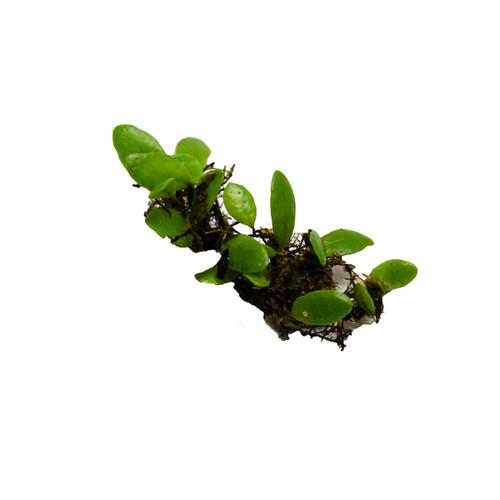 Lemmaphyllum microphyllum Small Round