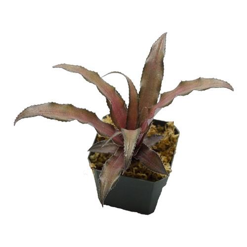Cryptanthus 'Pixie'