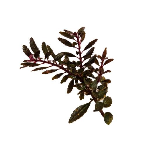 Triolena pileoides