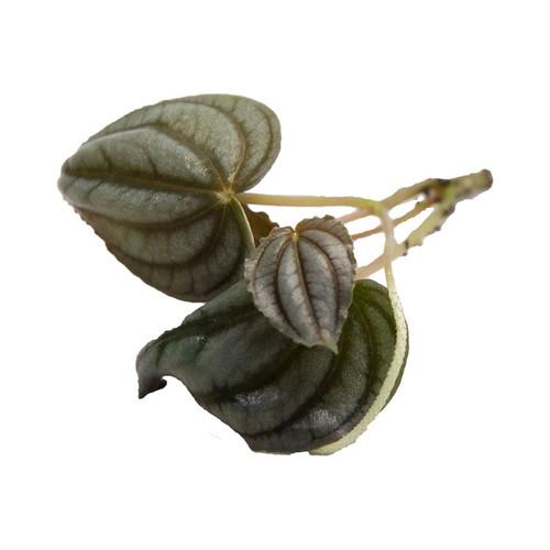 Peperomia turboensis