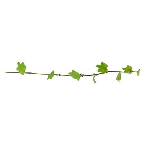 Ficus pumila var. quercifolia
