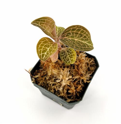 Anoectochilus 'Bette'