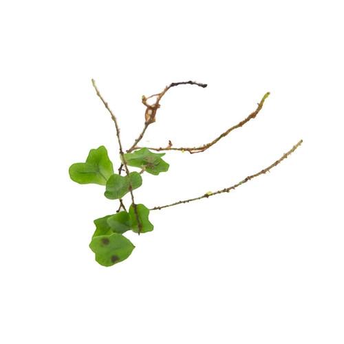Lemmaphyllum microphyllum 'Shishi'