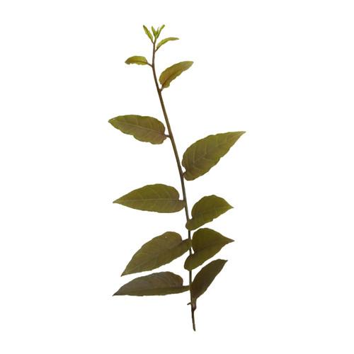 Solanum cf. evolvulifolium
