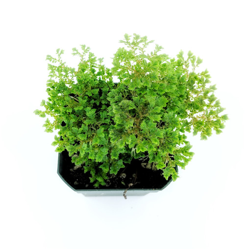 Selaginella emmeliana 'Compact Green'