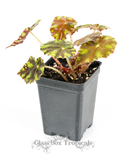 Begonia 'Tiger Kitten'