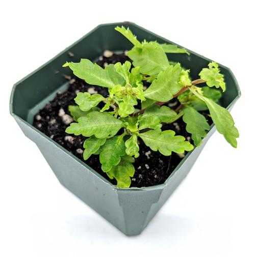 Pilea sp. Ecuador