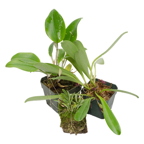 3 Miniature Terrarium Suitable Orchids