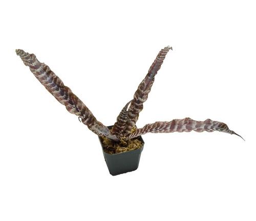 Cryptanthus 'Cape Coral'